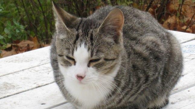 Ärivaimu tekkimist soodustav toksoplasmoos levib põhiliselt kasside väljaheidetega.
