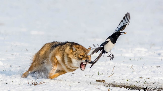 Šaakal üritab vahel ka linde kätte saada, kuid paraku on ta kehv jahimees.