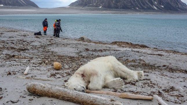 Teravmägede saarestikus inimest rünnanud jääkaru lasti maha.