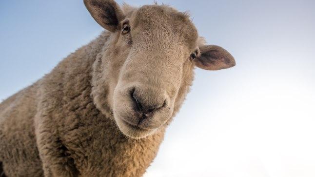 SÄHKE 21. SAJANDIT: miks toodetakse ja pruugitakse lambasoolest kondoome?