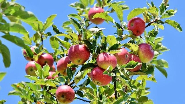 Väärt nipid õunte korjamiseks ja säilitamiseks.