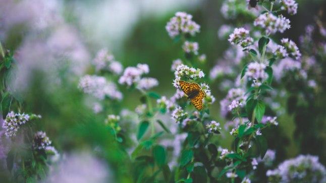 Kaunis pune meelitab liblikaid ja mesilasi