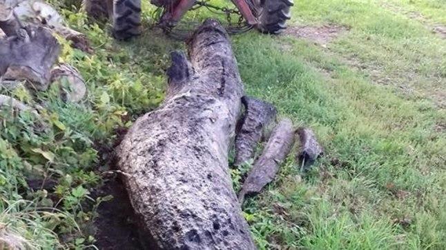 PARAS JURAKAS: Selline pikalt mudas peesitanud tamm ootab hea käega meistrit.