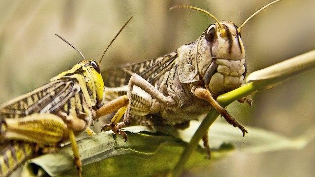 Juba praegu võivad kahjurputukad hävitada kuni viiendiku saagist.