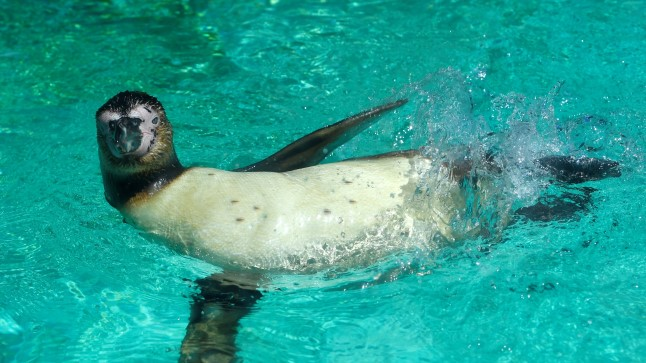 A Humbolt penguin is swims at London Zoo in London A Humbolt penguin is swims at London Zoo in London, Britain, June 27, 2018. REUTERS/Toby Melville