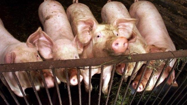 Need kärsakandjad on rõõmsad ja terved, kuid liigikaaslased Hiinas juba levitavad surmavat haigust