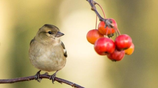 KASULIKUD NÕUANDED: asu linde toitma juba hilissügisel, mitte alles lume ja pakase saabudes