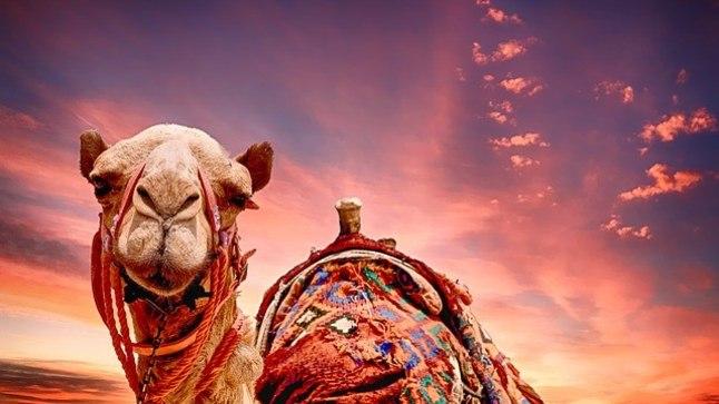 Saudi Araabia kaamelite iludusvõistlus on tagasi.. aga botox on jätkuvalt keelatud!