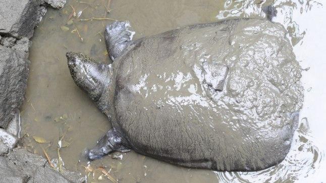 JÄREL VAID KOLM: üliharuldane Jangtse kilpkonn suri pärast kunstliku viljastamise katset