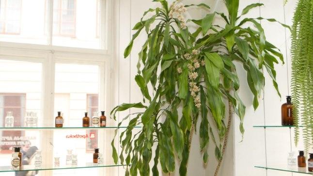 Eksootiline toataim: mida vajavad kasvamiseks draakonipuu, tõlvpuu ja tääkliilia? | Kodu