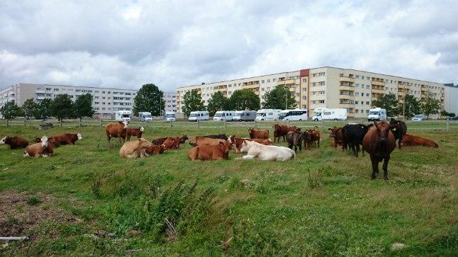 Pärnu linnalehmad on võitnud nii linlaste kui ka turistide südame. Bert Holm Linnalehmad saavad oma joogivee lõugastest.