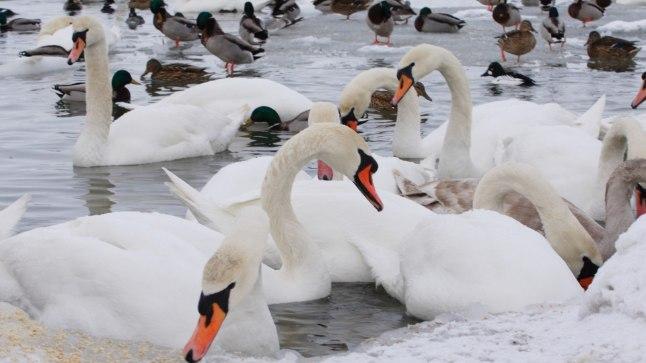 Tallinnast leitud luigel tuvastati eriti ohtlik lindude gripp   Õhtuleht
