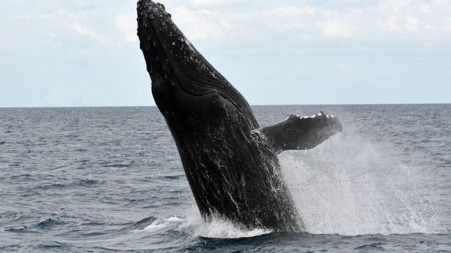 Miks vaalade laul aja jooksul muutub? | Loodus
