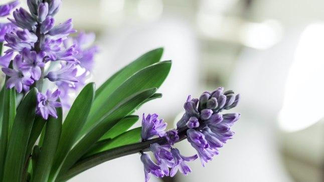 Ajata lihavõteteks hüatsinte, mis toa kevadiselt lõhnama panevad | Kodu