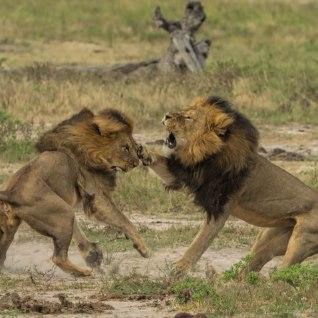 Tapeti ka Zimbabwe lemmiklõvi Cecili vend Jericho