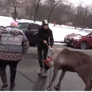 Смотри, в Петербурге <font color=&quot;#d30008&quot;>полиция ловила оленя,</font> скакавшего по проспекту