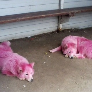 Волонтерам чудом удалось спасти брошенных в лесу <font color=&quot;#d30008&quot;>розовых собак</font>