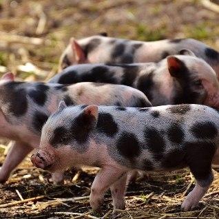 На Украине свиньи съели половину своего хозяина