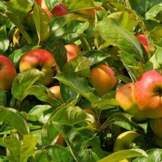 <font color=&quot;#ff136c&quot;>Soovitused aednikule:</font> Viljapuude hooldustööd juulis