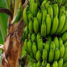 Banaanikoored sisaldavad hulgaliselt flavonoide, millel on üks tervisele väga kasulik hüve. Vaata, mis see on!