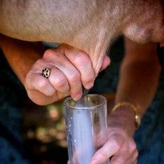 Piima ja piimatoodete ümber käib paras trall. Ühelt poolt kuuleme, et need on luude tervise seisukohalt asendamatud, teiselt poolt aga antakse teada, et lehmapiim pole üldse inimese toit. Kellel on õigus?