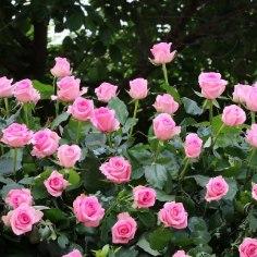 Koduaias on roosid väga kaunid. Enne, kui otsustad roosid kasvama panna, tee endale oluline selgeks.