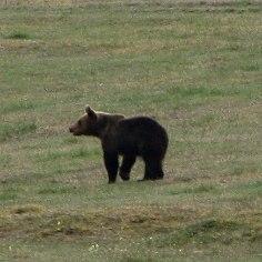 PILTUUDIS: Kirblas kalpsas kalmistul ja karjamaal noor karu