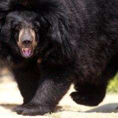 USKUMATU! Koerakutsikad osutusid mustadeks karudeks