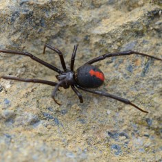 mürgine ämblik