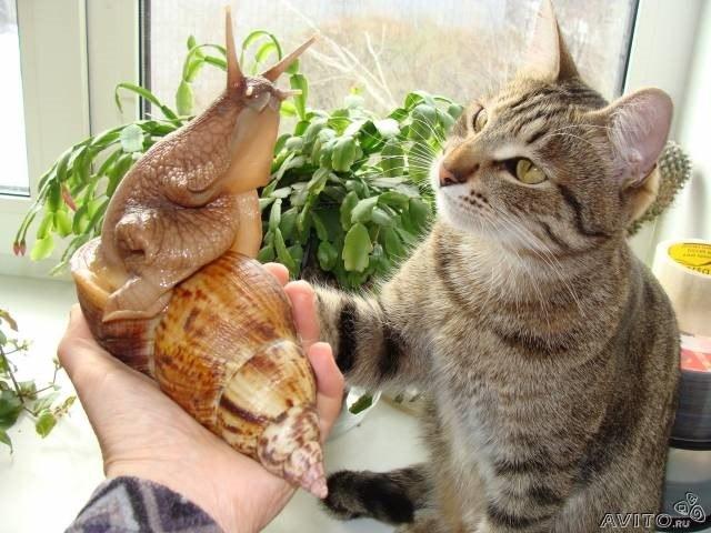 Ахатина и кот