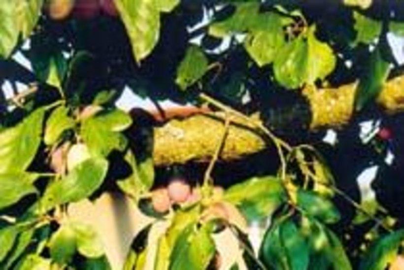 Ploomis on vähe vitamiine, kuid palju mineraalaineid