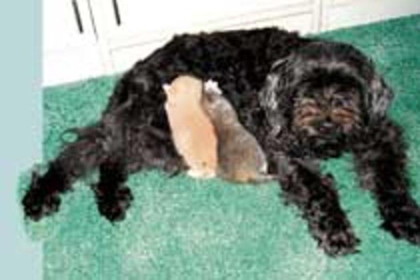 Koer lapsendas kaks kassipoega