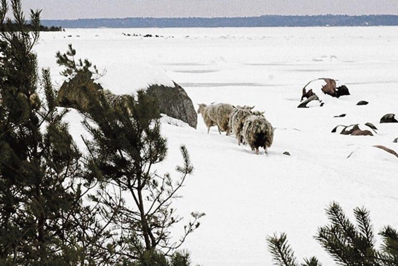 Kägu ja Ojulandi lambad nälgivad üksikul saarel