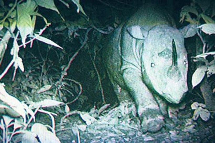 Üliharuldased kaadrid sumatra ninasarvikust