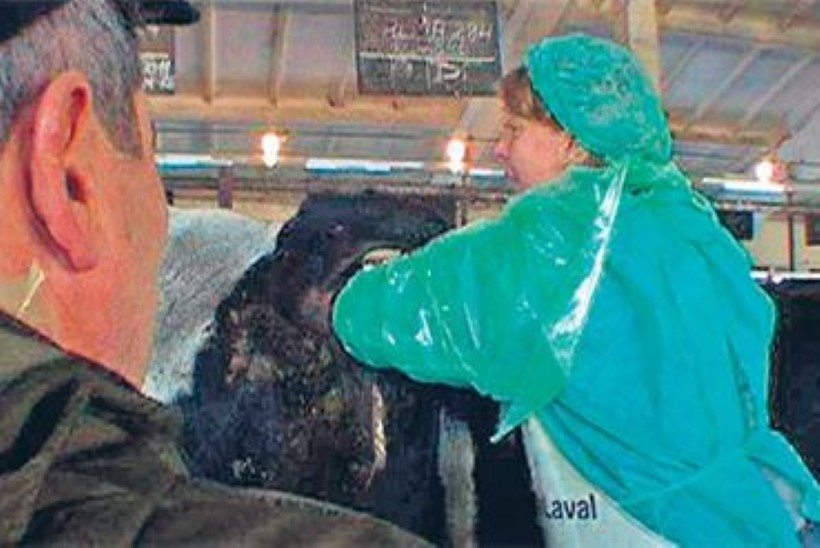 Vilja Savisaar: lehma kunstlik seemendamine oli roojane, aga see on elu