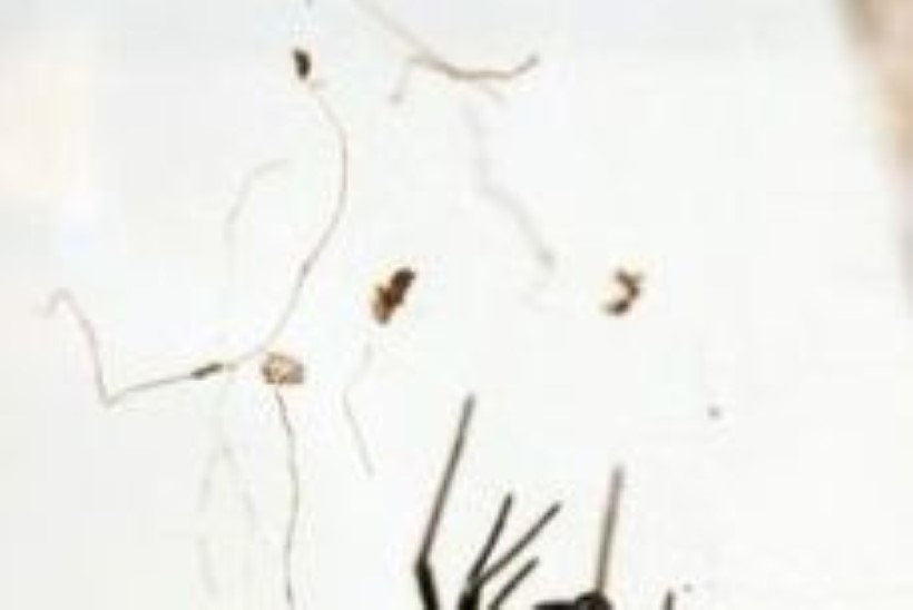 Rootsimaale on levinud mürgised mustad lesed