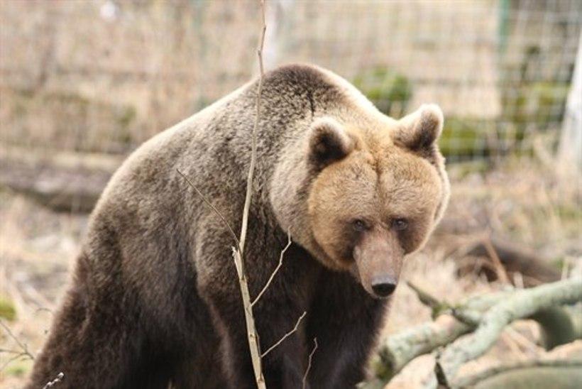 ETTEVAATUST: Tallinna Lauluväljakul luusinud karu päästjad ei tabanud