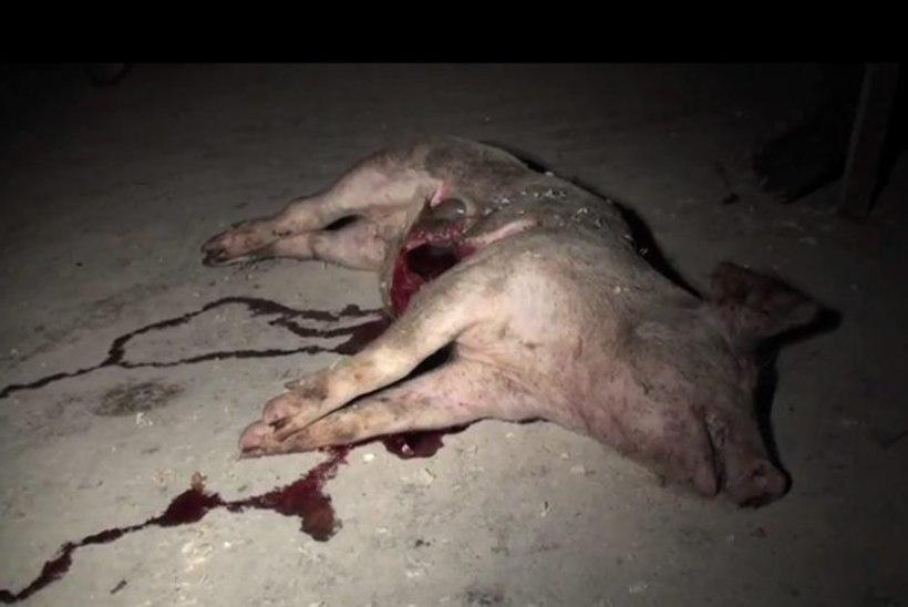 Salaja filmitud videod Eesti sigalates paljastavad loomade väärkohtlemisi