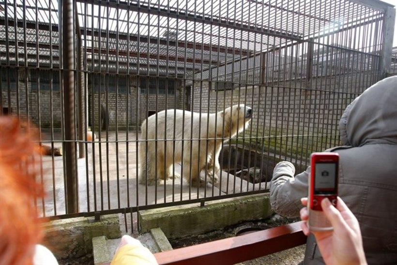 Tallinna loomaaia jääkarud vajavad abi