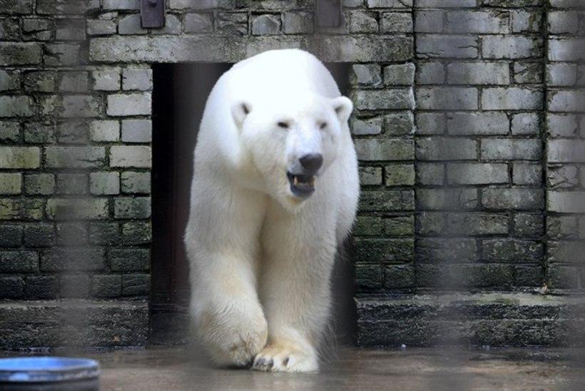 ANNETA: Loomaaia jääkarude uus kodu läheb maksma kuni neli miljonit eurot