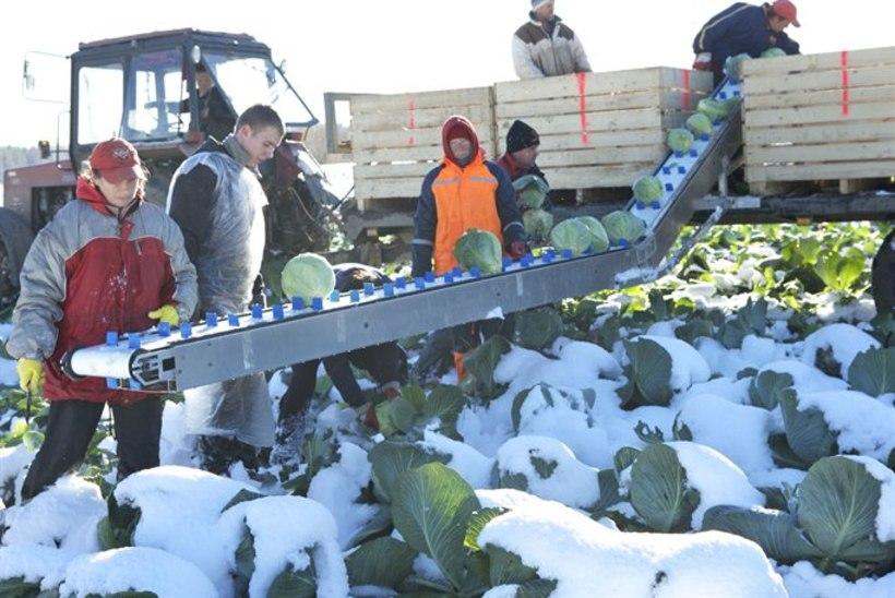 Põllumehed: kartul jääb maha, kapsa saab lumest kätte