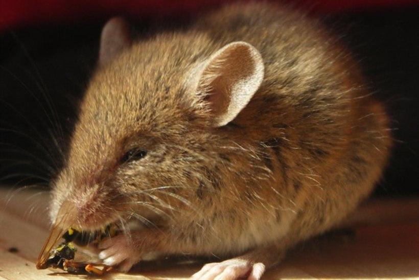 Jaapanis klooniti hiir vaid ühe veretilga abil!