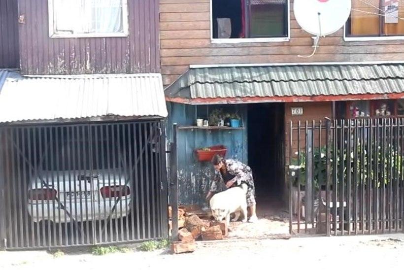 VIDEO: Koer aitab eakal paaril küttepuud majja vedada