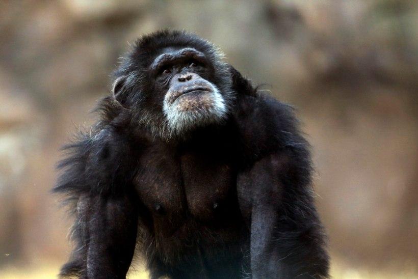 New Yorgi kohtud ei andnud šimpansidele inimõigusi