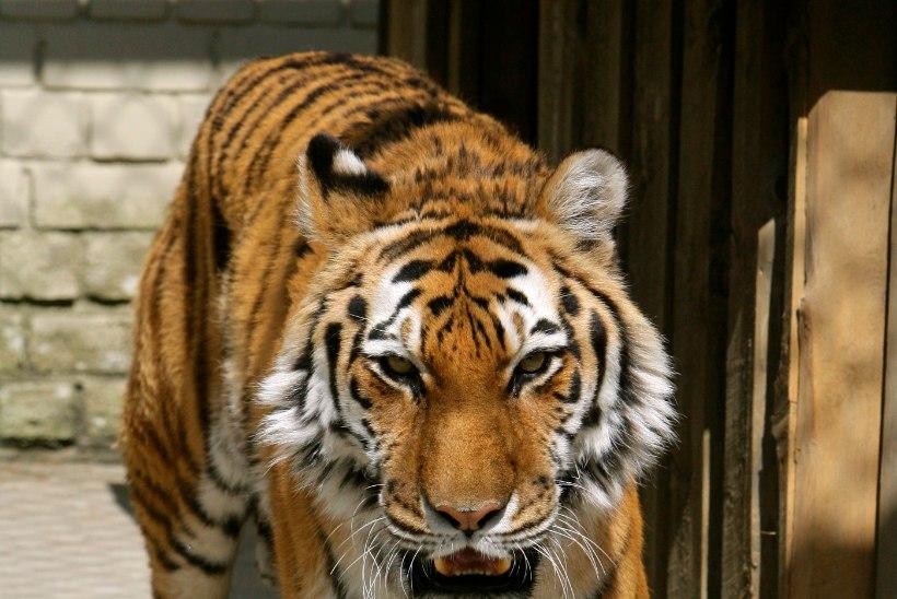 VIDEO: tiiger läks keset tsirkuseetendust dresseerijale kõri kallale