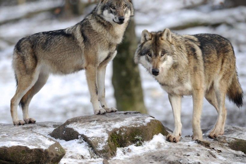 Tšernobõli näljased hundid ründavad Valgevene külasid