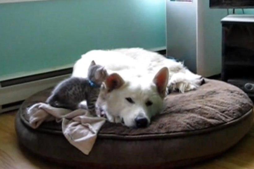 VIDEO: lambakoer laseb kassipojal end kiusata