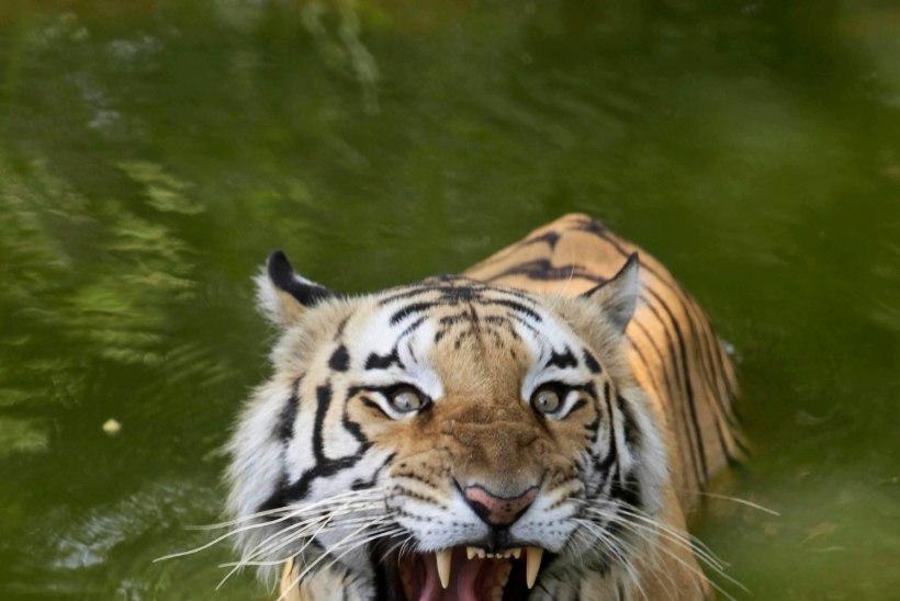 HÜVASTI VABADUS: inimsööja tiiger pisteti puuri