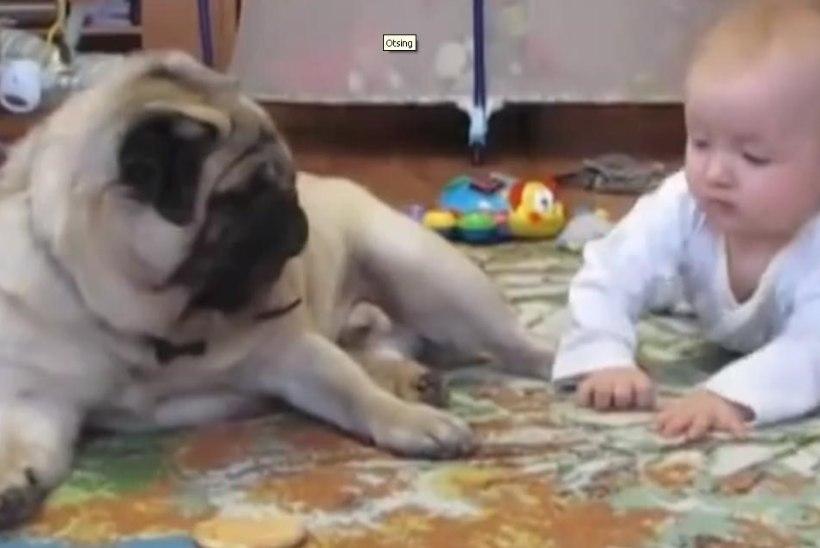 NUNNU VIDEO: mops ja beebi ei saa küpsist ära jagatud