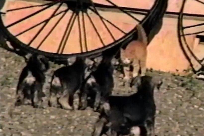 VIDEO: kassipoeg näitas kutsikatele, kes on boss!